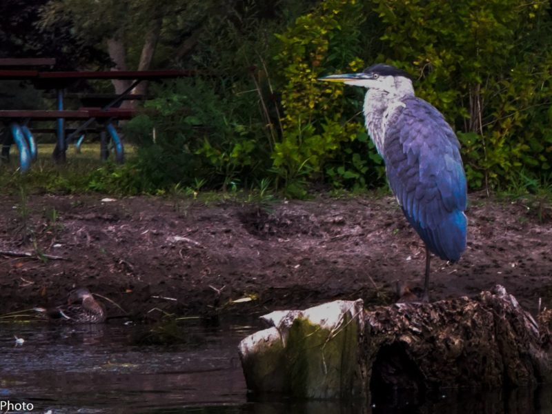 Blue Heron in the Toronto Islands